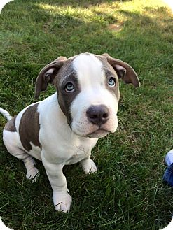 Pit Bull Terrier/American Staffordshire Terrier Mix Puppy for adoption in Dayton, Ohio - Pyro