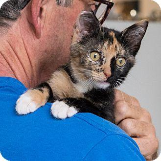 Domestic Shorthair Kitten for adoption in Houston, Texas - JJ