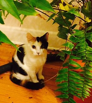 Domestic Shorthair Cat for adoption in Chattanooga, Tennessee - Tulsi