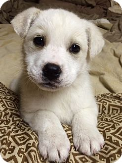 Great Pyrenees/Labrador Retriever Mix Puppy for adoption in Savannah, Tennessee - Sophie