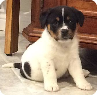 English Shepherd Mix Puppy for adoption in Savannah, Georgia - Jessie