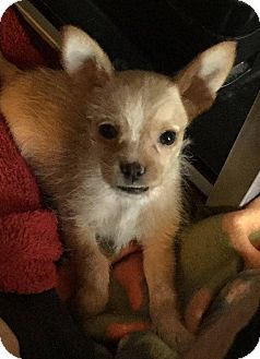Chihuahua/Shih Tzu Mix Puppy for adoption in WAGONER, Oklahoma - Cash