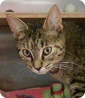 Domestic Shorthair Cat for adoption in Hillside, Illinois - Sierra-LAP-SIZED SWEETIE