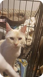 Domestic Shorthair Cat for adoption in Hainesville, Illinois - Kara