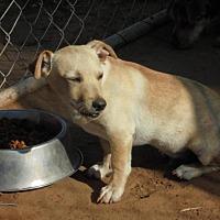 Dachshund/Terrier (Unknown Type, Small) Mix Dog for adoption in Anton, Texas - Dijon