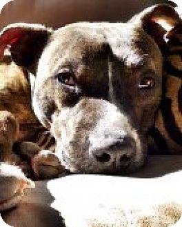 Pit Bull Terrier Dog for adoption in Framingham, Massachusetts - Waggit