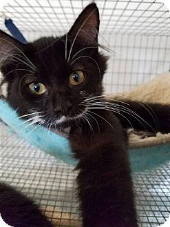 Domestic Mediumhair Kitten for adoption in Umatilla, Florida - Michael