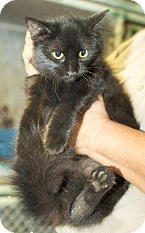 Maine Coon Cat for adoption in Dallas, Texas - Mystic