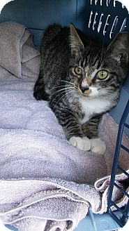 Domestic Shorthair Kitten for adoption in Ludowici, Georgia - Dora