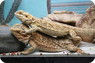 Lizard for adoption in Bellingham, Washington - Petra and Pandora