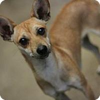 Adopt A Pet :: Jackson-Chiweenie! - Canoga Park, CA