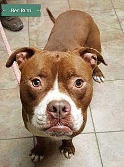 American Bulldog/Boxer Mix Dog for adoption in Cincinnati, Ohio - Red Rum