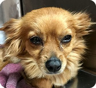 Chihuahua Mix Dog for adoption in Las Vegas, Nevada - Buttercup