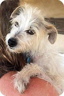Wheaten Terrier/Cairn Terrier Mix Dog for adoption in Poway, California - Piper