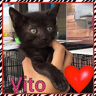Domestic Shorthair Kitten for adoption in Riverside, California - Vito