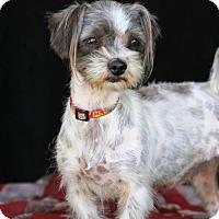 Adopt A Pet :: Willow - SAN PEDRO, CA