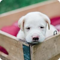 Adopt A Pet :: Ashton $250 - Seneca, SC
