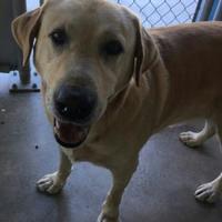 Labrador Retriever Mix Dog for adoption in Brownwood, Texas - Cain(PAWS)