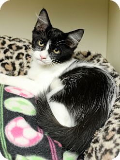 Domestic Mediumhair Kitten for adoption in Germantown, Tennessee - Logan