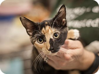 Domestic Shorthair Kitten for adoption in Dallas, Texas - Paula