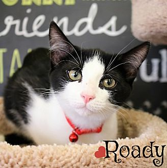 Domestic Shorthair Kitten for adoption in Arlington, Texas - Roady
