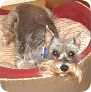 Schnauzer (Miniature) Dog for adoption in Redondo Beach, California - Piper