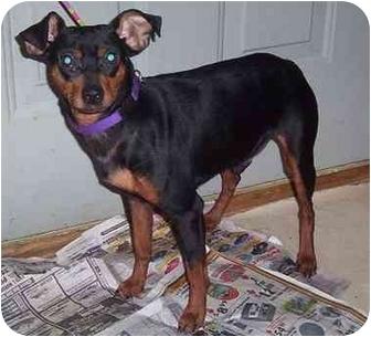 Miniature Pinscher Dog for adoption in Newburgh, Indiana - Preston