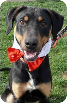 Doberman Pinscher/Rottweiler Mix Dog for adoption in Sacramento, California - Trooper loving