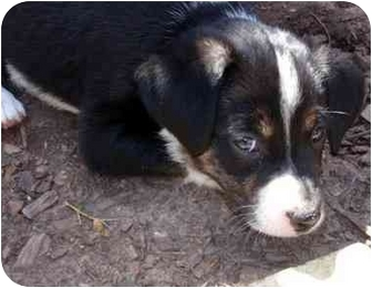 Australian Shepherd/Terrier (Unknown Type, Medium) Mix Puppy for adoption in Overland Park, Kansas - Miley