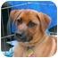 Photo 2 - Corgi Mix Puppy for adoption in Wayne, New Jersey - Lark