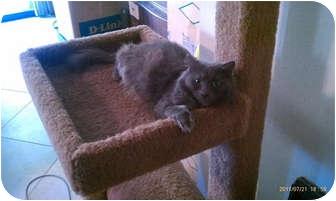 Scottish Fold Cat for adoption in Laguna Woods, California - Nala