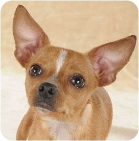 Chihuahua/Miniature Pinscher Mix Dog for adoption in Chicago, Illinois - Lenox