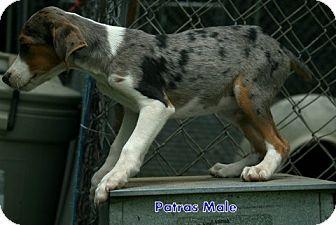 Australian Shepherd/Foxhound Mix Puppy for adoption in Danbury, Connecticut - Patras
