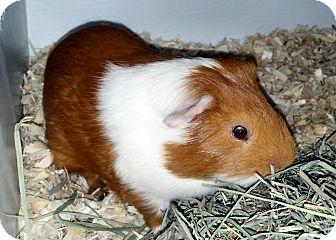 Guinea Pig for adoption in Lewisville, Texas - Neptune