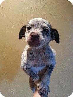 Manchester Terrier/Chihuahua Mix Puppy for adoption in Ocean Ridge, Florida - Pup 3