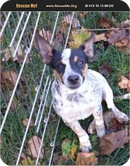 Australian Cattle Dog Puppy for adoption in selden, New York - Laruren