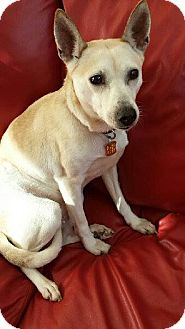 Shiba Inu/Terrier (Unknown Type, Small) Mix Dog for adoption in Hilliard, Ohio - Princess