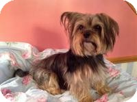 Yorkie, Yorkshire Terrier/Maltese Mix Dog for adoption in Hilliard, Ohio - Gia- Adoption Pending