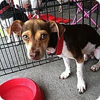 Adopt A Pet :: Angelo - North Hollywood, CA