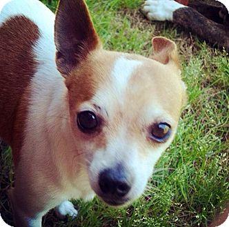 Chihuahua Mix Dog for adoption in Grand Bay, Alabama - Chi Chi