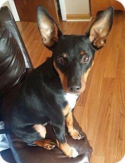 Dachshund/Miniature Pinscher Mix Puppy for adoption in Plainfield, Illinois - Mario