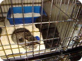 Domestic Shorthair Kitten for adoption in Henderson, North Carolina - Holly Kittens