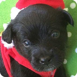 Bichon Frise Mix Puppy for adoption in La Costa, California - Gabriel