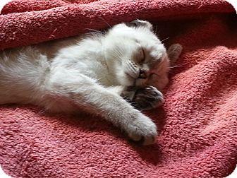 Siamese Kitten for adoption in Statesville, North Carolina - Poppy