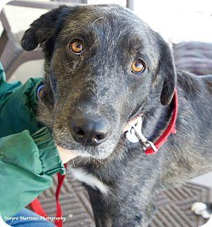 Australian Shepherd/Labrador Retriever Mix Dog for adoption in Homewood, Alabama - Jack