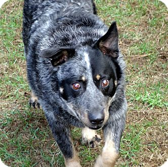Blue Heeler Dog for adoption in Post Falls, Idaho - GABE - BLIND