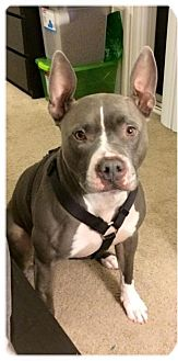 Pit Bull Terrier Mix Dog for adoption in Los Angeles, California - Zara- sweet and urgent!