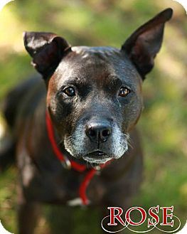 American Pit Bull Terrier Mix Dog for adoption in New York, New York - Rose