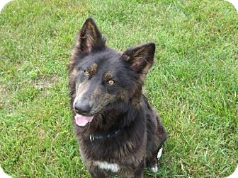 Dutch Shepherd/Shepherd (Unknown Type) Mix Dog for adoption in Batavia, Ohio - Storm