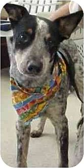 Australian Cattle Dog Mix Dog for adoption in Lavon, Texas - Coleman